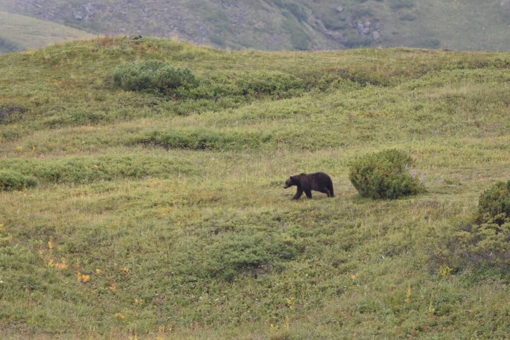Поход по Камчатке: медведь
