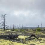 вулкан толбачик мертвый лес